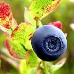 220px-Norwegian_blueberry