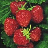 maasikas-170x170